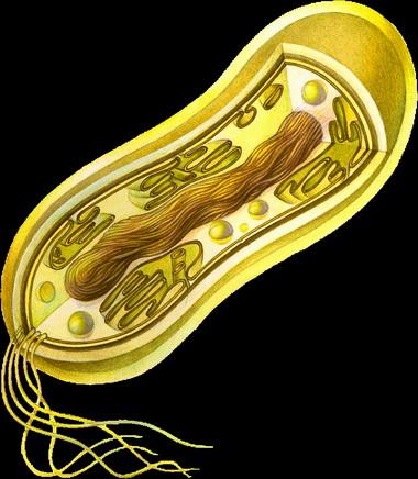 Бактериальная клетка.