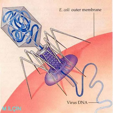 Бактериофаги.